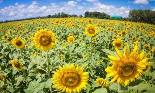 Sunflower fields in Central Thailand 06_L new
