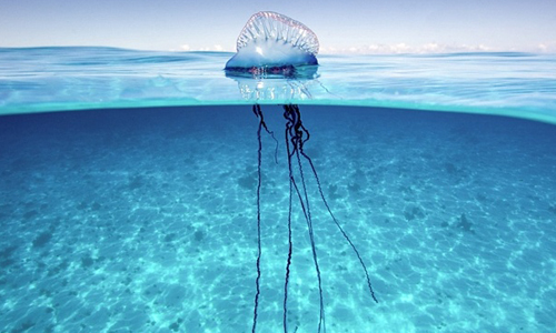 Portuguese-Man-of-War-Jellyfish