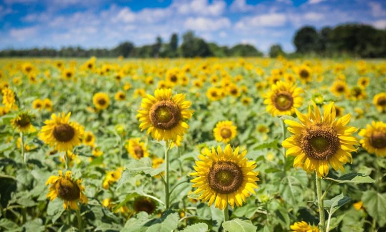 Sunflower field at Nong Khaem in Lop Buri