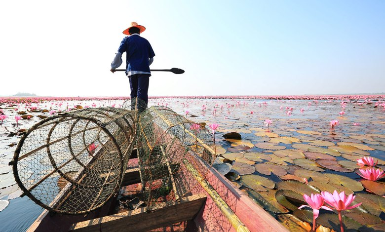 It's that time of the year: Udon Thani's Red Lotus Sea is blooming