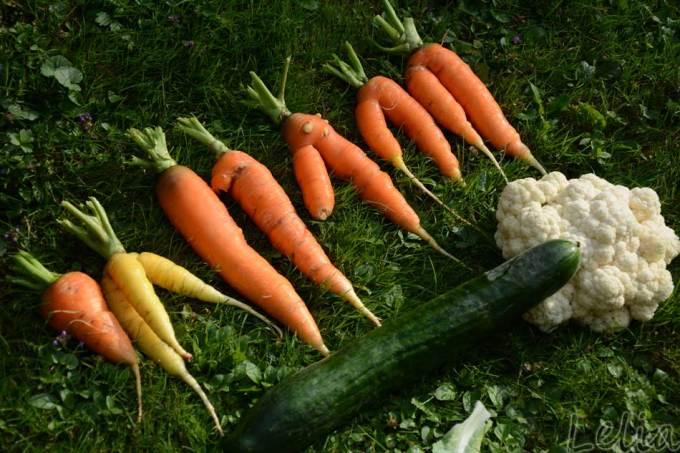 Karottenernte