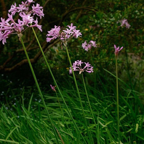 Pink Agapanthus   Plants That Repel Snakes