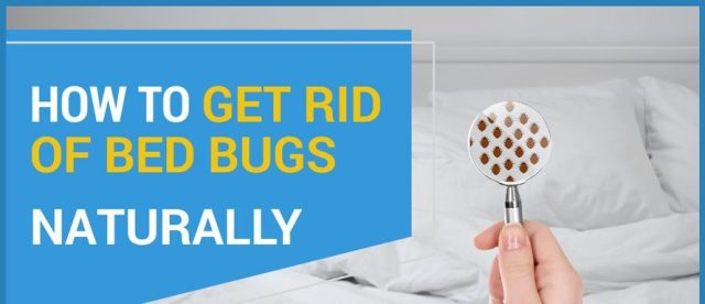 get rip of bed bugs | does lavender repel bed bugs