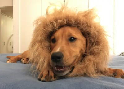 """I came home the other night and asked Brian, """"Hey, what was in that Amazon box that got delivered?"""" Brian looks at me, absolutely BEAMING, as he proudly displays our puppy, wearing a lion suit."""