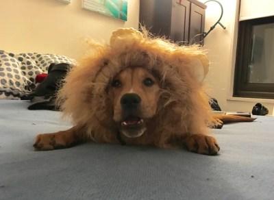 IT'S A LION SUIT!!!!!!!