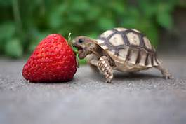 tortoise eating a strawberry