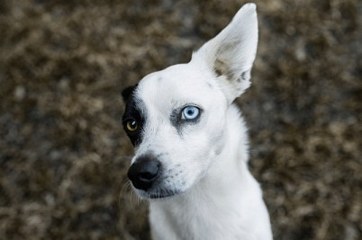 dog with ear standing up