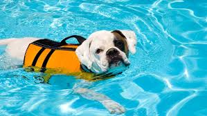 Dog swimming in pool wearing life vest
