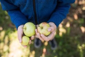 Taves Farms U-Pick apples