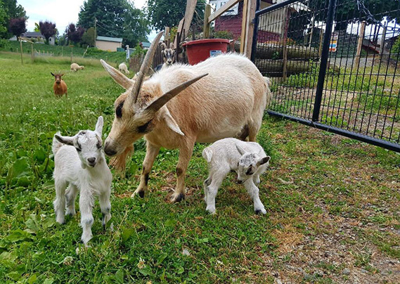 Goats at the Taves Family Farmsclass=