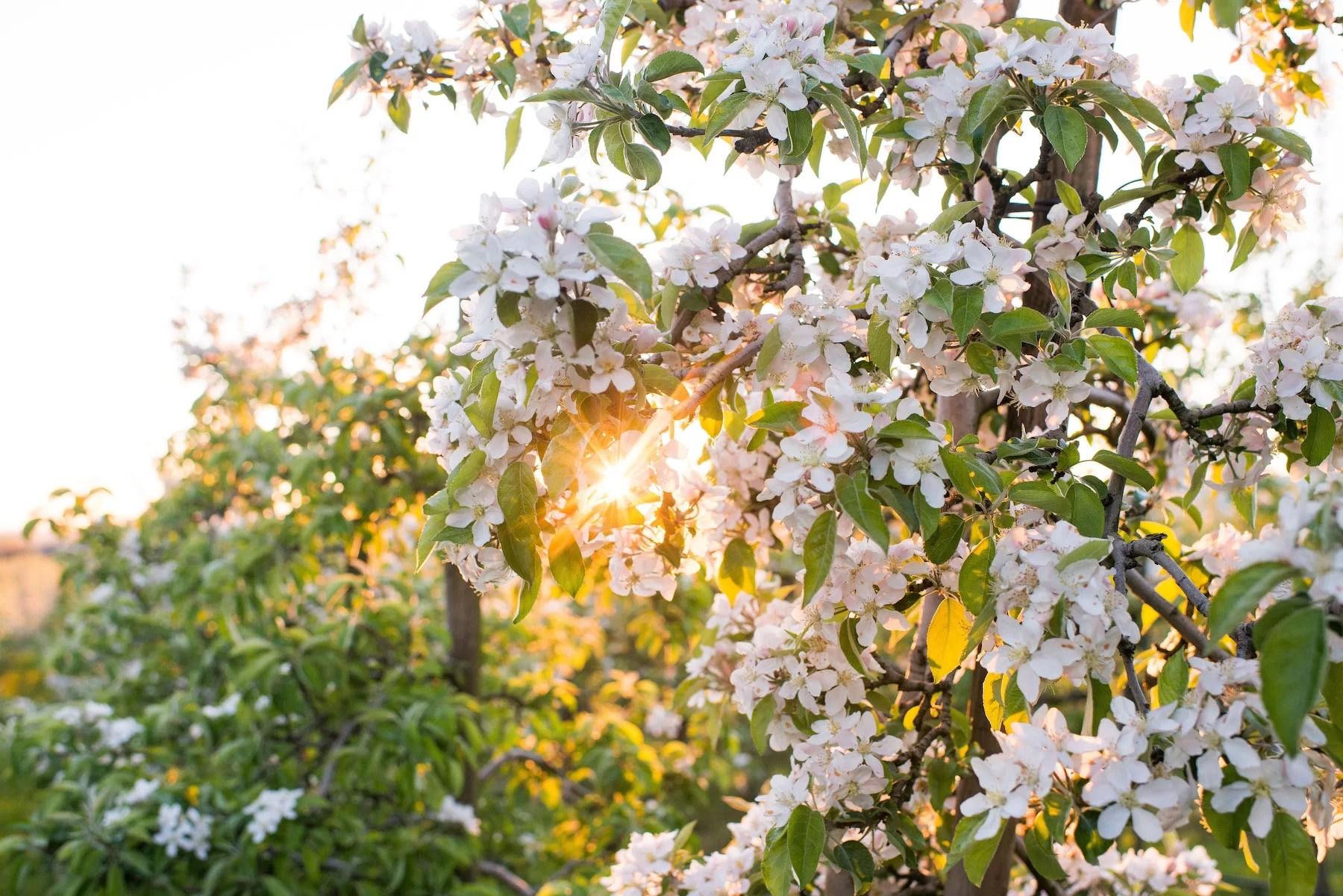 blossomfest2