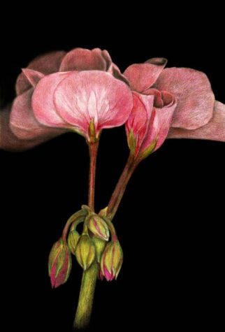 Tawnya Williams gallery, Colored pencil rose on black, Prismacolor roses, Rose petal drawing, Prismacolor flowers