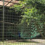 日本平動物園 孔雀