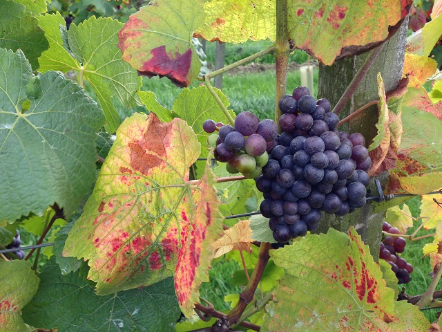 Denbies Vineyard October 2013