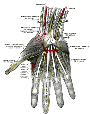 Diagram of nerves in hand via Wikipedia