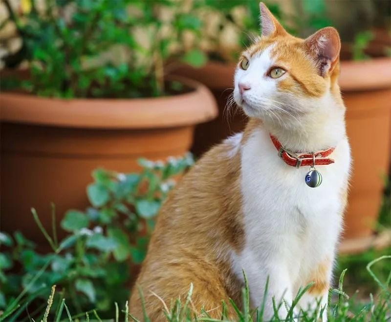 Cat wearing a Guardian Orb Lost Pet tracker on a collar