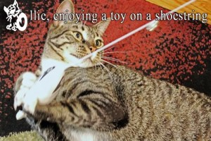 Ollie playing with a cat toy tied to a shoelace