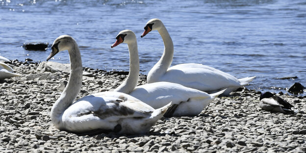 Three swans sit on the bank of a river.
