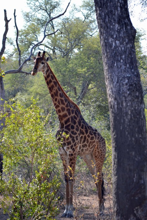 road trip realities, south africa, family, travel, giraffe, kruger national park, mpumalanga, hazyiew, can you travel South Africa by car, no 4x4 needed