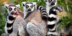 Florida Aquarium | Lemurs | Madagascar