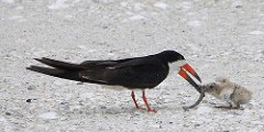 Shorebird   FWC   Black Skimmer
