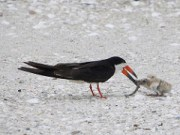 FWC: Give Nesting Shorebirds Some Space
