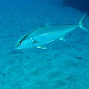 Fishing | Amberjack | FIshing Season