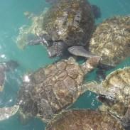 Sea Turtles | Sea Turtle Hatchlings | Clearwater Marine Aquarium