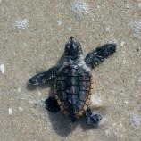 Sea Turtles | FWC | Sea Turtle Hatchlings