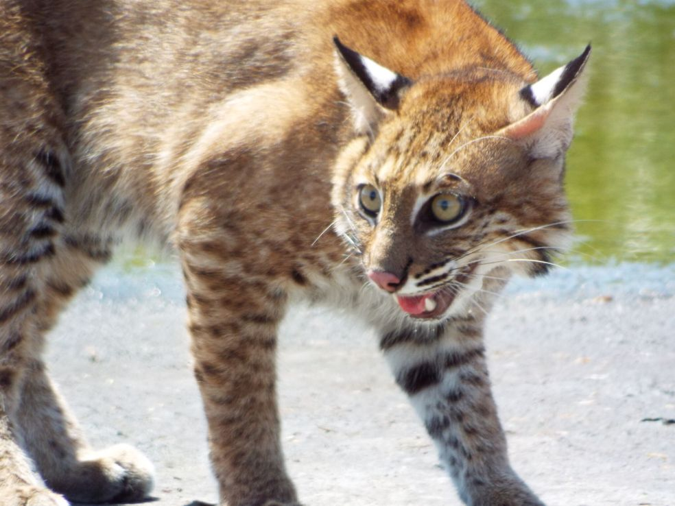 Kitchi the Bobcat Released Back into Wild in Hillsborough