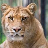Liger   Lions   Tigers