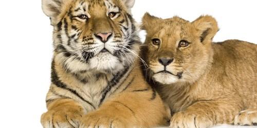 Tiger Cub | Lion Cub | Big Cats
