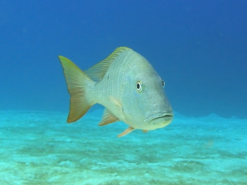 Mutton Snapper | FWC | Fishing