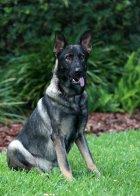 Indo | Tampa Police | Police Dog