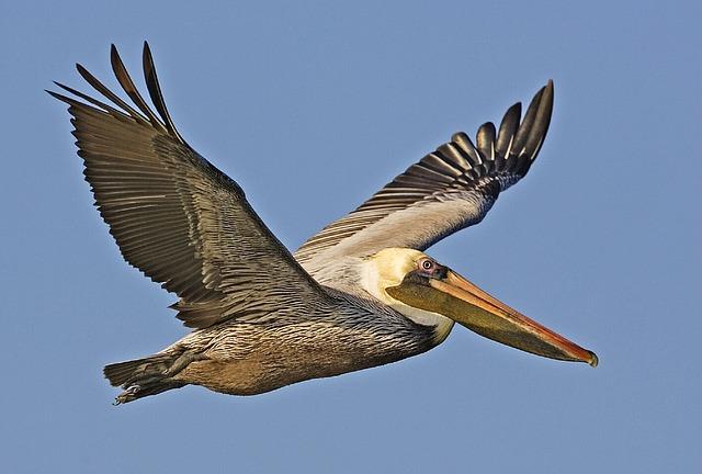 Brown Pelican | Sea Bird | Environment