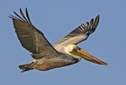 Tests on Dead Pelicans Continue, St. Pete Says