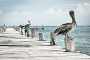 St. Pete Releases Latest Findings in Pelican Deaths