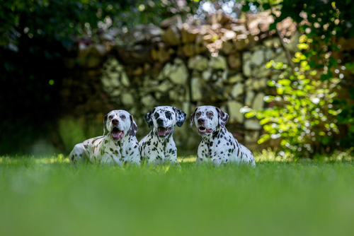 Dalmatian | Dogs | Dog Park