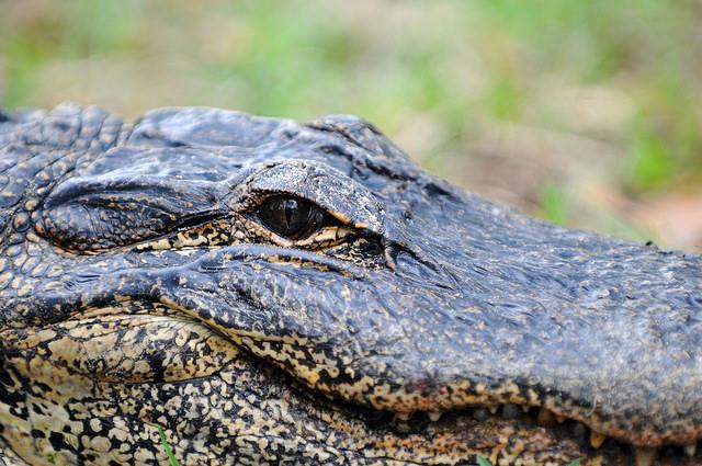 Alligators | FWC | Environment