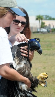 Eaglet Released | Tampa Bay Raptor Rescue | Animals