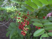Brazilian Pepper, Lead Trees to Be Removed in Hernando Beach