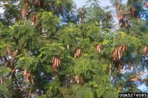 Lead tree   Invasive Tree   Environment