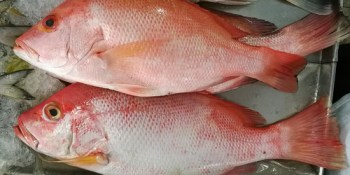 Red Snapper | FIshing Season | Sports