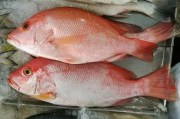 Red Snapper Season Opens Saturday