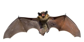 Bats | Pets and Animals | Wildlife