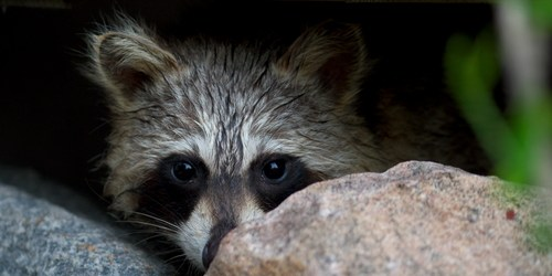 Raccoon | Rabies | Pets and Other Animals