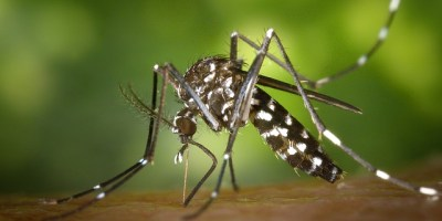 Tiger Mosquito | Insects | Pests