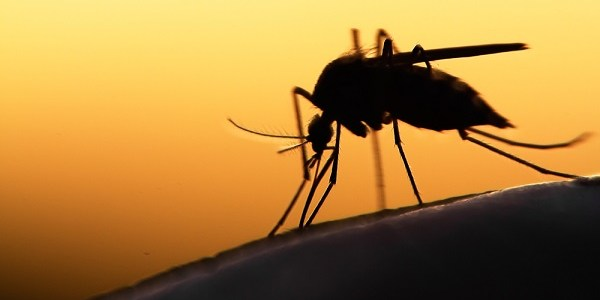 Mosquito | Insect | Public Safety