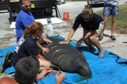 Watch for Manatees When Boating, FWC Says