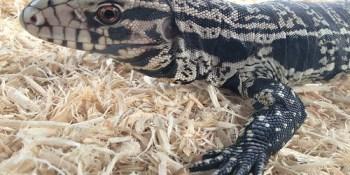 Tegu | Florida Fish and Wildlife | Exotic Pets